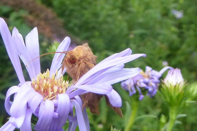 moth's head
