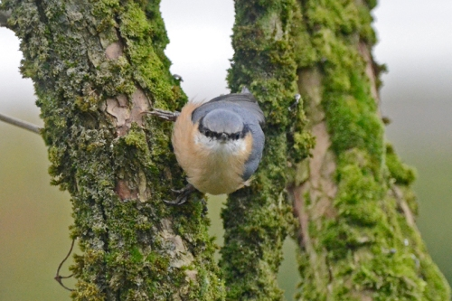nuthatch staring