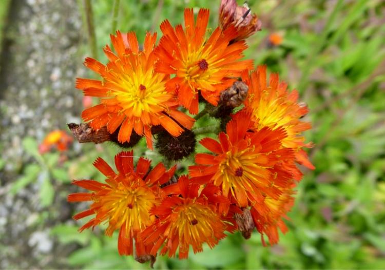 orange hawkweed august