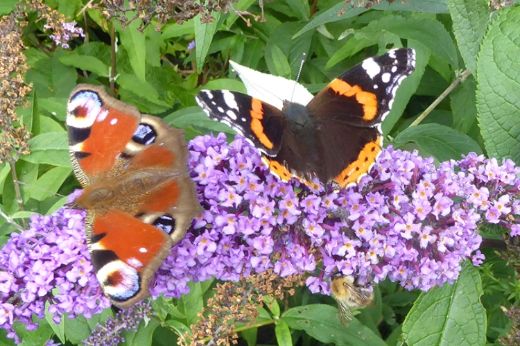 peacock and admiral butterflies