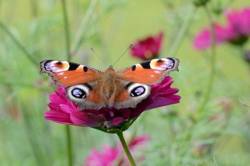 peacock butterfly on cosmos
