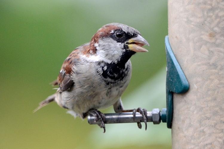 perching sparrow