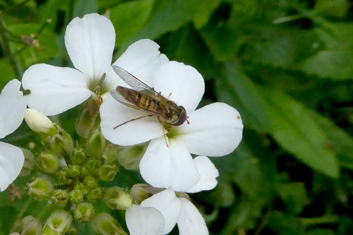 phlox with insect