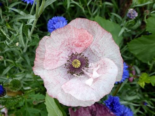 poppy pinkish