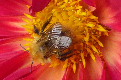 red dahlia with bee 2