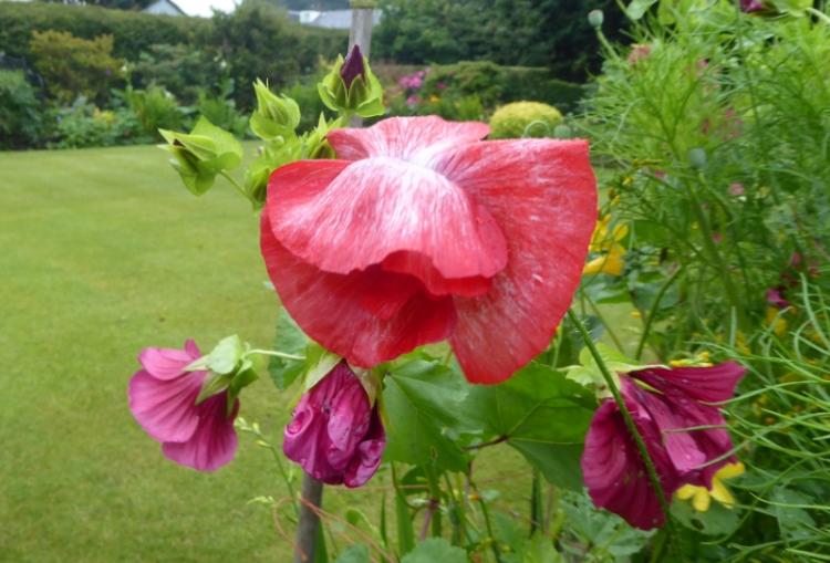 red poppy in wind 1