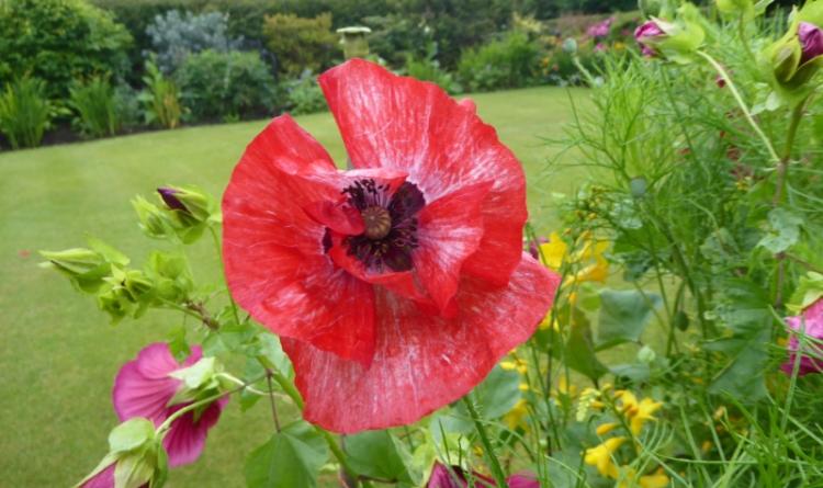 red poppy in wind 2