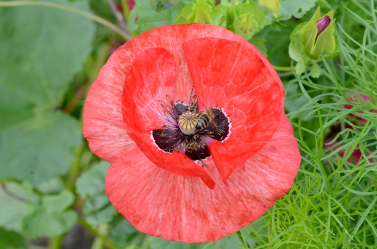 red poppy with hoverfly
