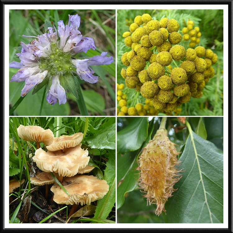 scabious, tansy, fungus, beech nut