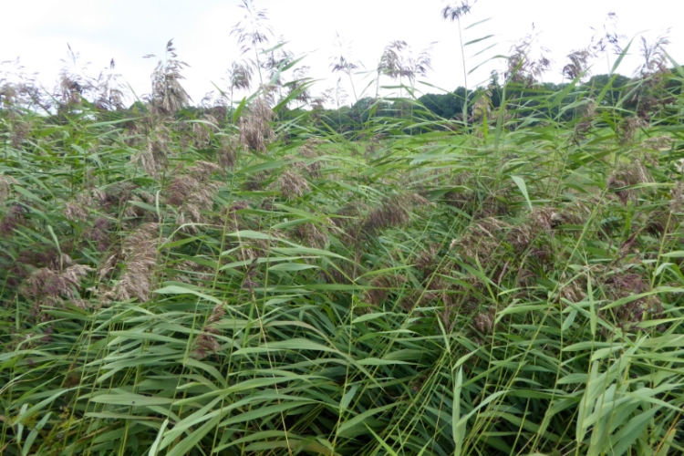 seedy grass
