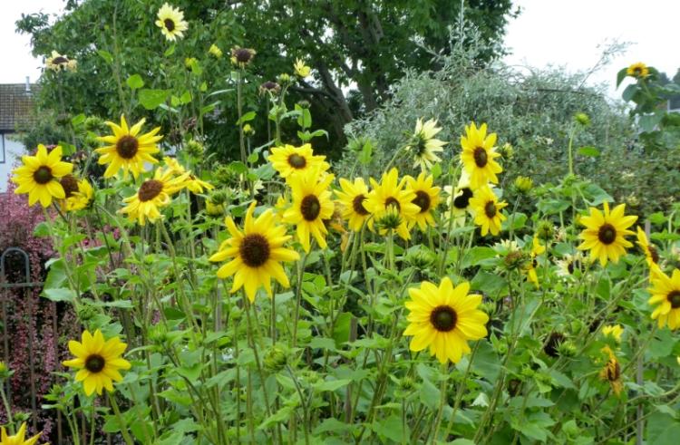 short sunflowers