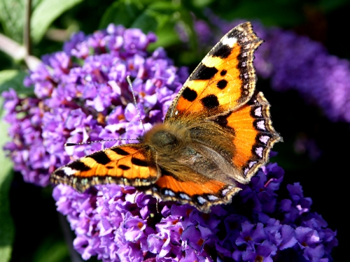 small tortoiseshell butterfly 2