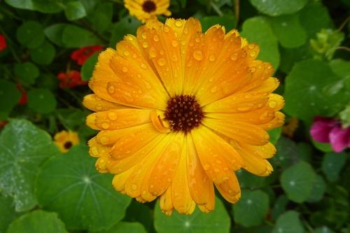 soggy calendula