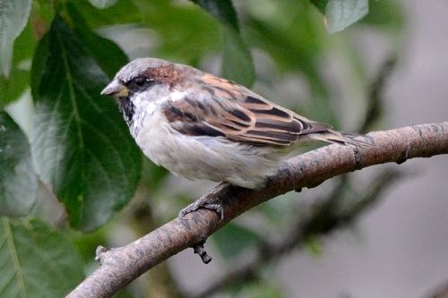 sparrow in plum tree