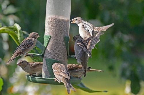 sparrow melee