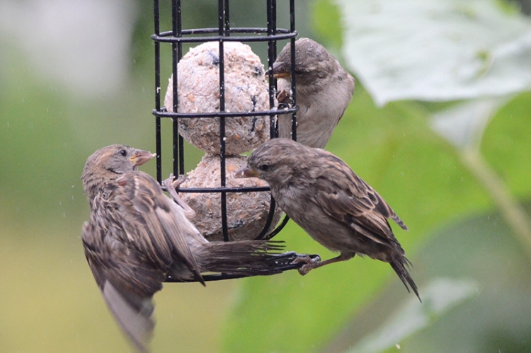 sparrows on fatball arguing