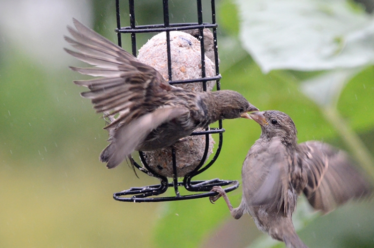 sparrows on fatball attacking