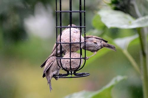 sparrows on fatball peaceful