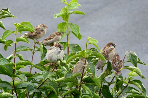 sparrows on philadelphus