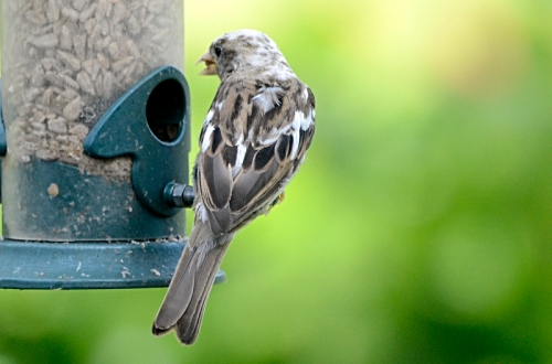 speckled sparrow