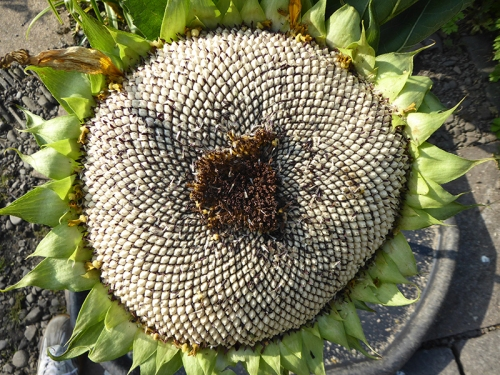 sunflower head