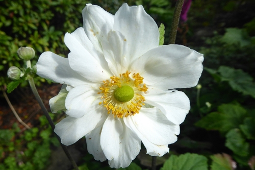 sunny japanese anemone