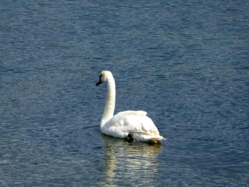 swan at portobello