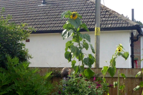 tall sunflower with Mrs T