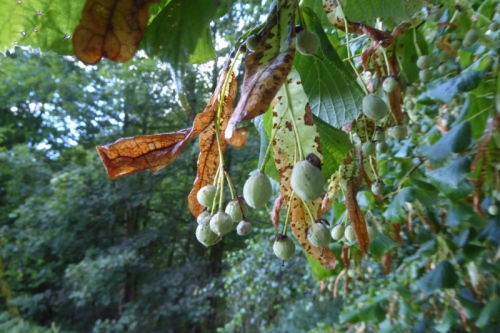 tree fruits