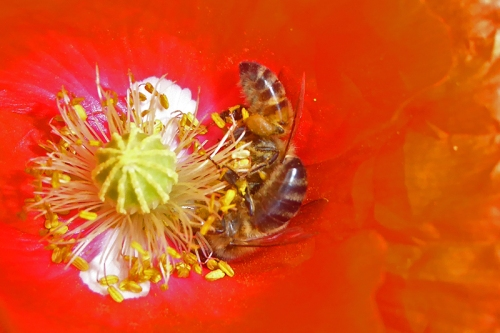 two bees on poppy