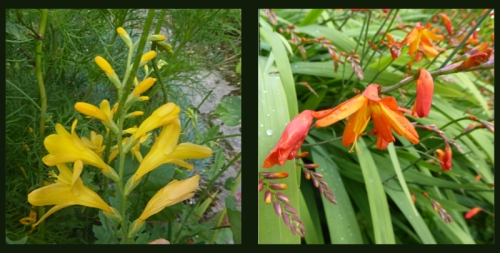 two crocosmia