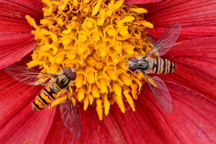 two hoverflies on dahlia