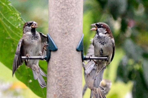 two sparrows with seed