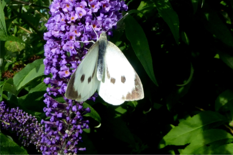 two spot white butterfly