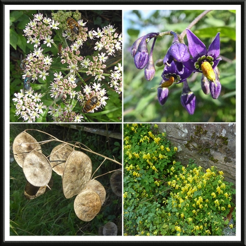 umbellifer, deadly nightshade, honesty, corydalis