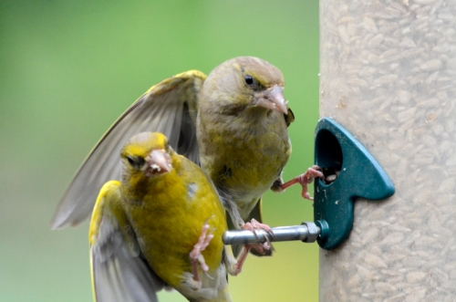 unwitting greenfinch shoved