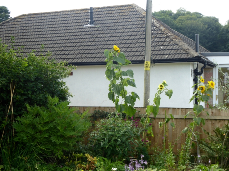 very tall sunflower