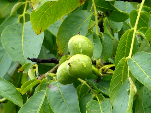 walnuts in tree
