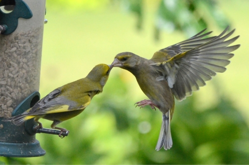 warring greenfinches