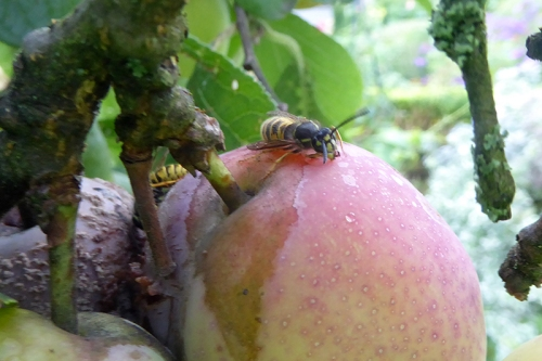 wasps on plums