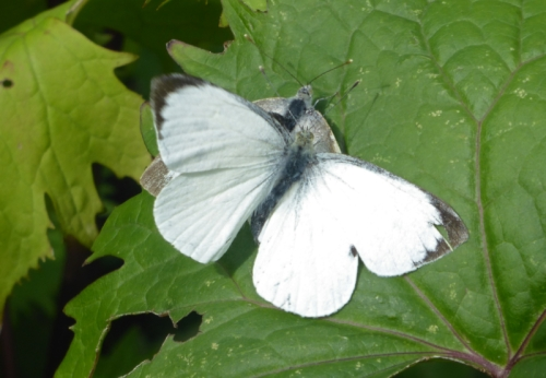 white butterflies mating