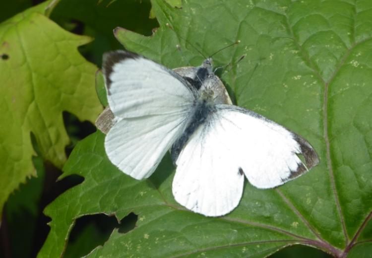 white butterflies mating