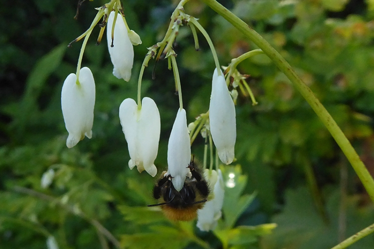 white dicentra with bee august