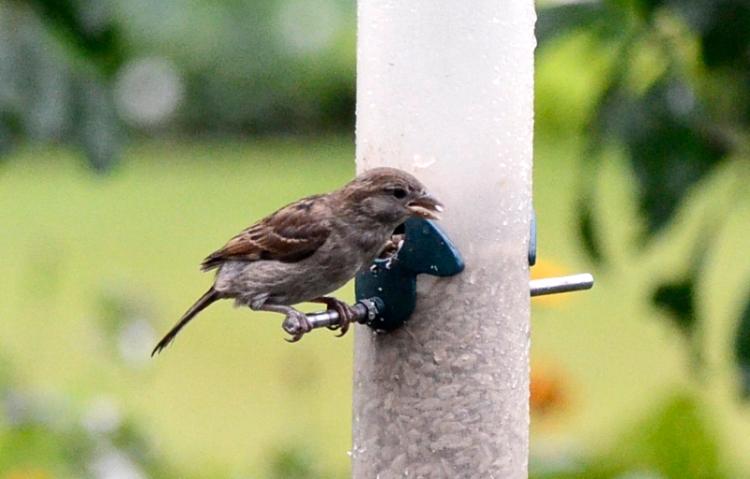 worried sparrow