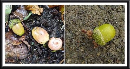 acorns fallen