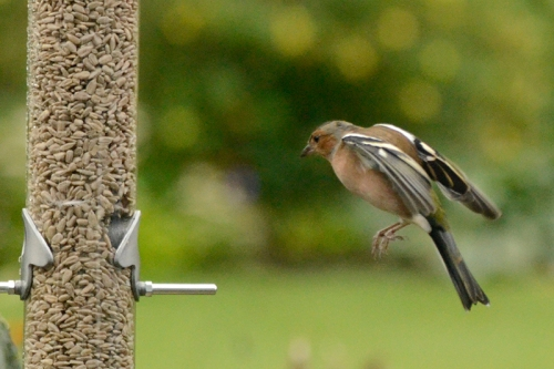 another chaffinch and the new feeder