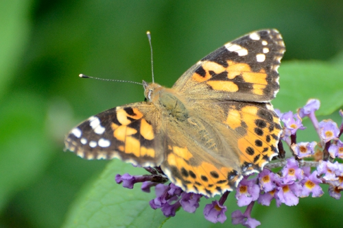 another painted lady butterfly