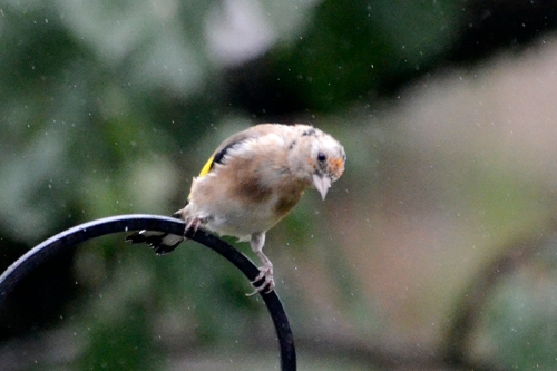 bald goldfinch