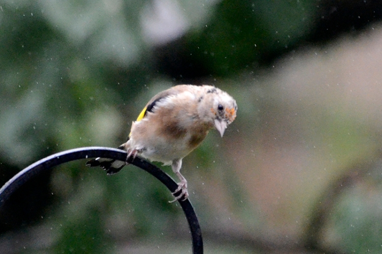 bald goldfinch