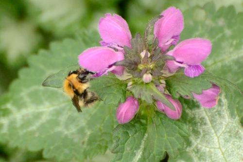 bee visiting lamium